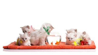 many funnyl kitten and goldfishes