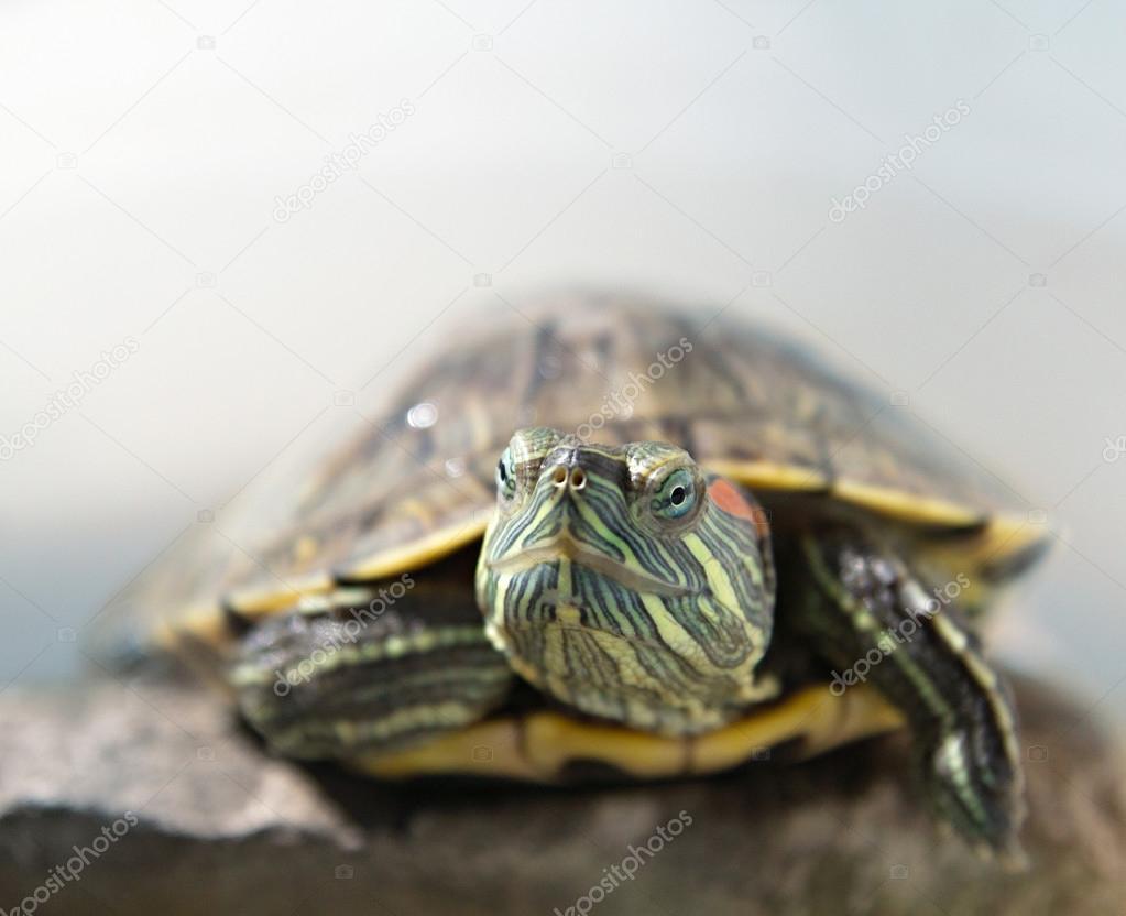 closeup portrait of a tortoise
