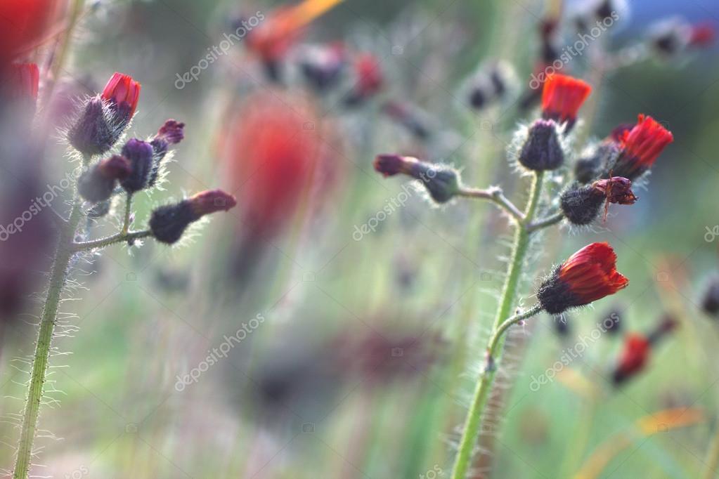 wild flowers, macro