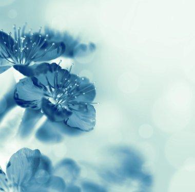 Macro sakura flowers