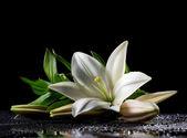 lilie bílá čerstvosti