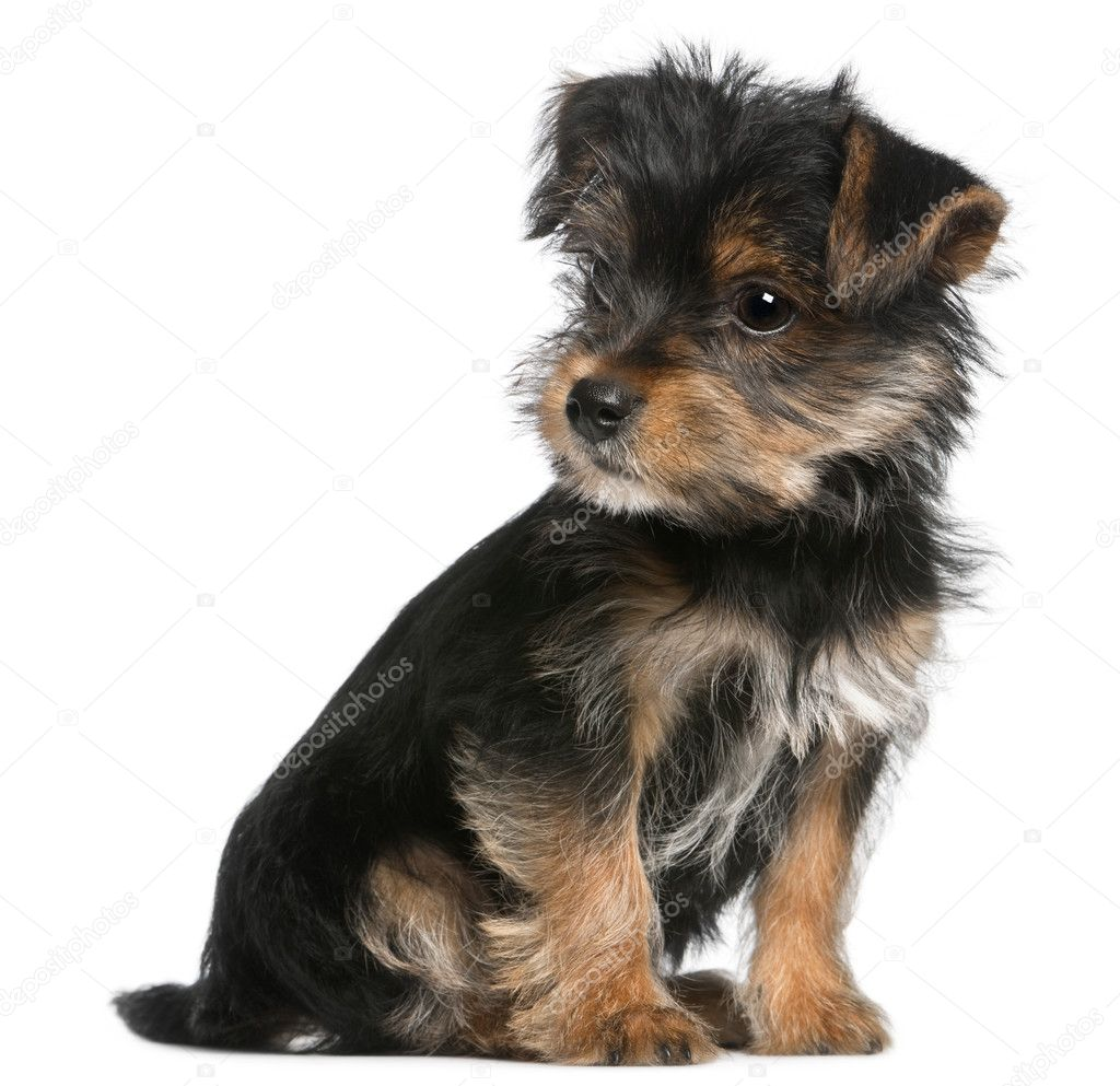 3 month old yorkie puppy size pin cute puppy full size image 2560 x 1600 732 86 kb jpg 1045