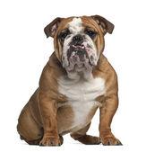 Fotografia bulldog inglese, 10 mesi di età, seduto su sfondo bianco