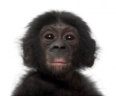 Baby bonobo, Pan paniscus, 4 months old, against white backgroun