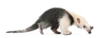 Tamandua, Tamandua tetradactyla, 3 months old, walking against w