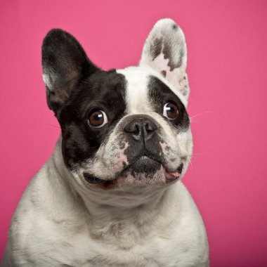 French Bulldog, 5 years old, against pink background