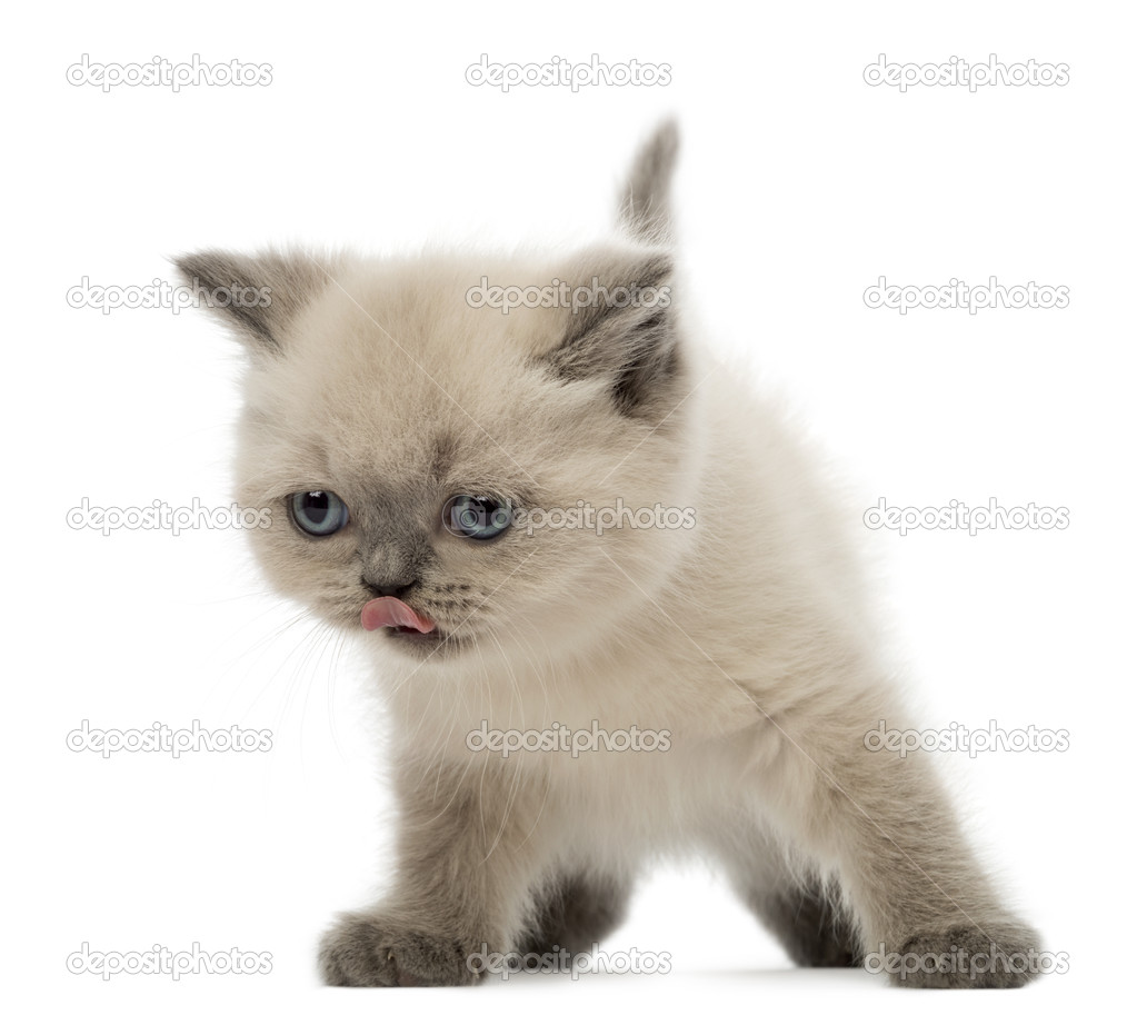 British Shorthair Kitten licking its nose 9 weeks old against