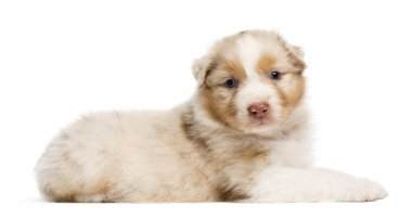 Australian Shepherd puppy, 30 days old, lying against white background