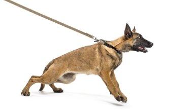 Belgian Shepherd leashed against white background