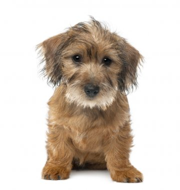 Mixed-breed dog puppy, 3 months old, sitting and looking at camera against white background