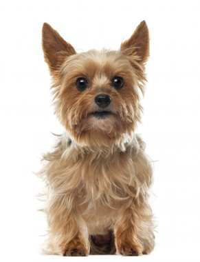 Yorkshire Terrier, 9 years old, sitting and looking at camera against white background