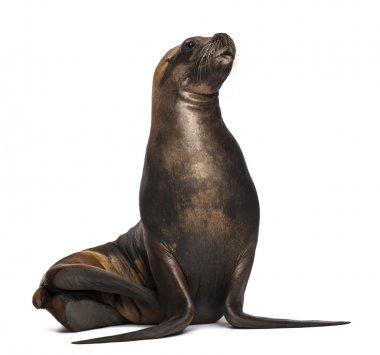 California Sea Lion, 17 years old, looking up against white background
