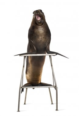 California Sea Lion, 17 years old, standing on stool against white background