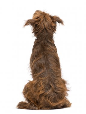 Rear view of a Crossbreed, 5 months old, sitting and looking up against white background