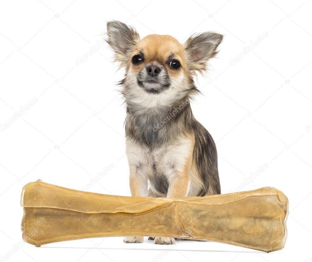 Chihuahua Blick in die Kamera und sitzt hinter Knöchel Knochen vor ...