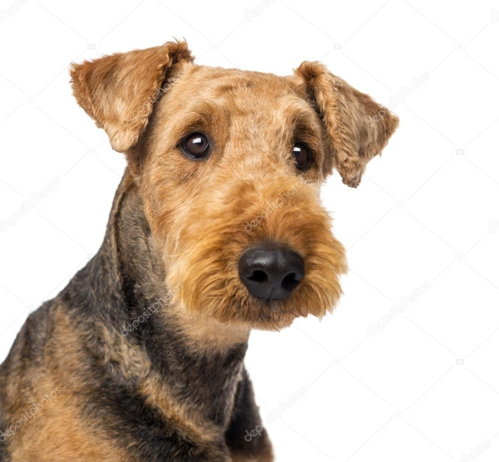 airedale terrier club of america - HD1296×1200