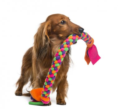 Dachshund, 4 years old, holding a dog toy in its mouth against white background