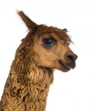 Close-up of Alpaca against white background
