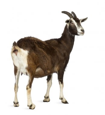 Rear view of a Toggenburg goat looking away against white background