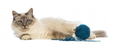 Birman lying with ball of wool and looking at camera against white background