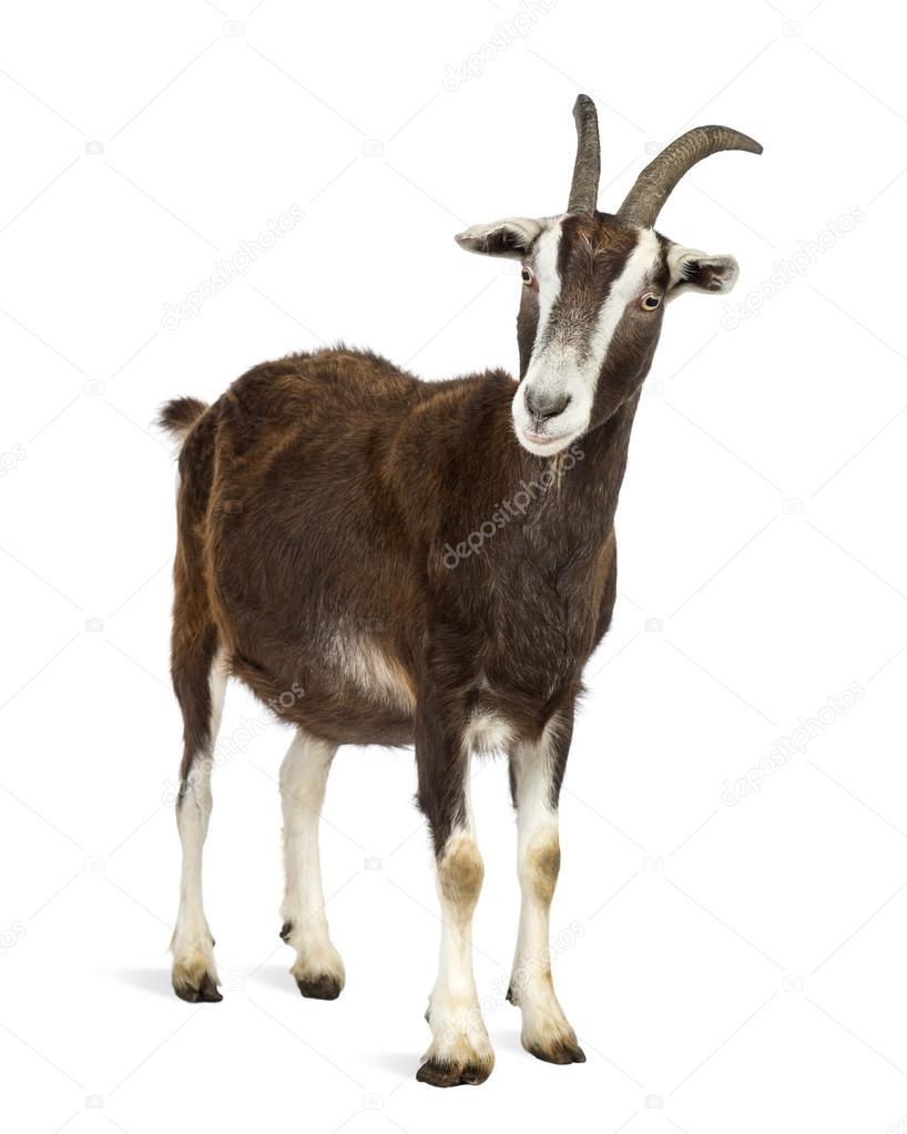 chèvre Toggenburg sur fond blanc — Photographie ...  One Goat White Background