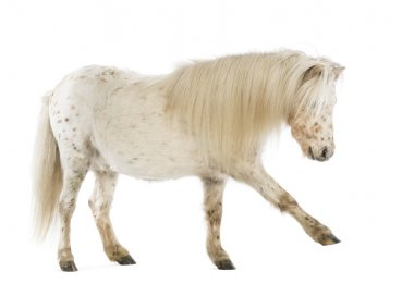 Side view of a Shetland stretching its leg in front of white background