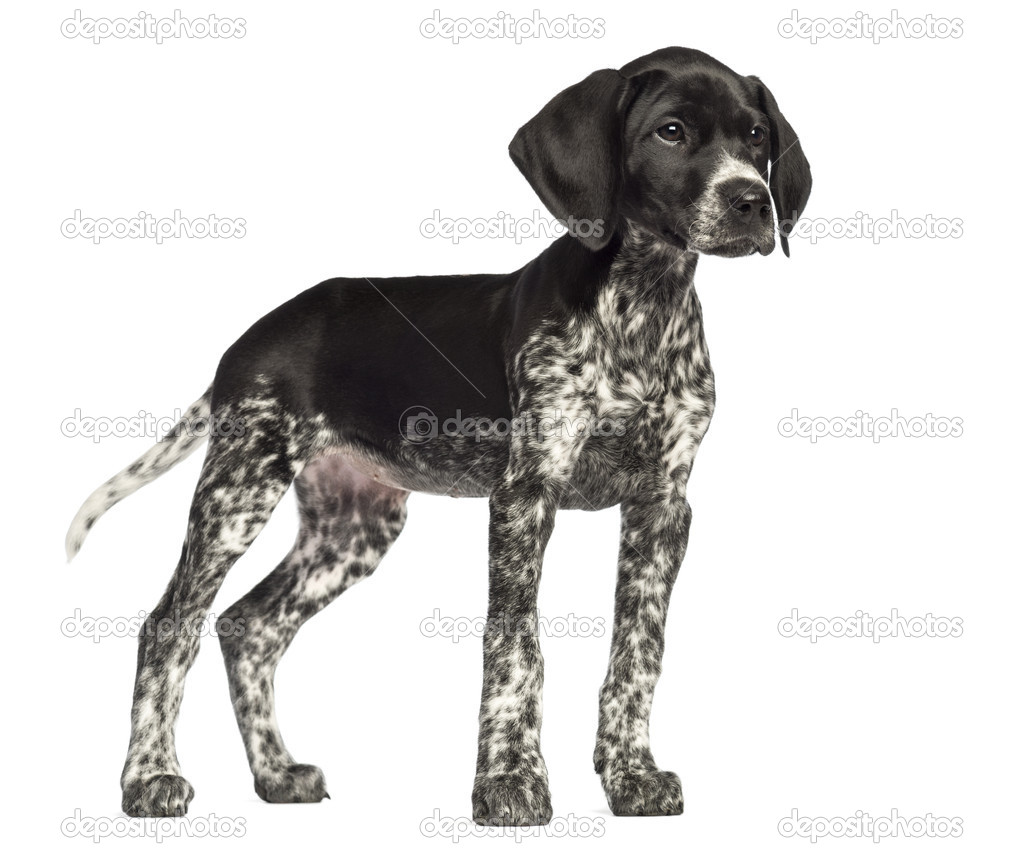 German Shorthaired Pointer, 10 weeks old, against white background ...