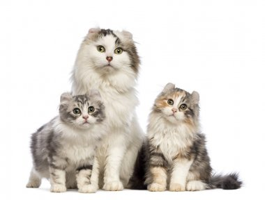 Two American Curl kittens, 3 months old, sitting with their mum in front of white background