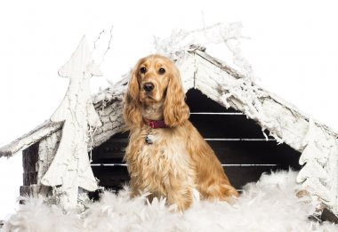 English Cocker spaniel sitting in front of Christmas nativity scene with Christmas tree and snow against white background
