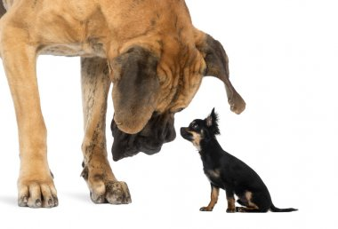 Great Dane looking at a Chihuahua sitting, isolated on white