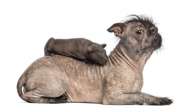 Hairless guinea pig lying on the back of a Hairless Mixed-breed dog, mix between a French bulldog and a Chinese crested dog, lying in front of white background