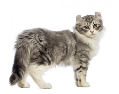 Side view of an American Curl kitten, 3 months old, looking at the camera in front of white background