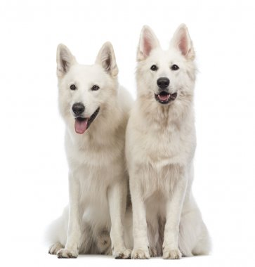 Two Swiss Shepherd dogs, 5 years old, sitting, panting and looking away in front of white background