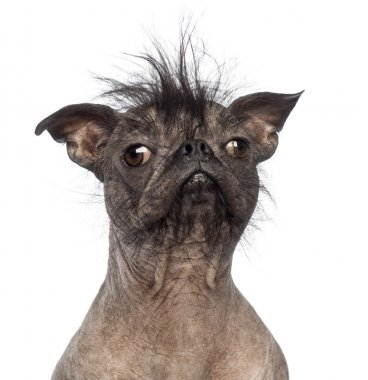 Close-up of a Hairless Mixed-breed dog, mix between a French bulldog and a Chinese crested dog, in front of white background