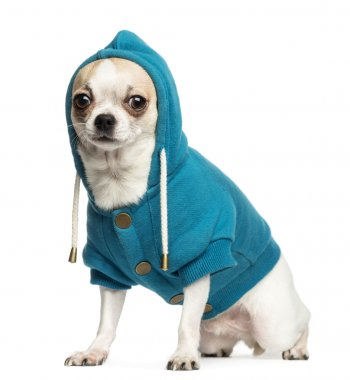 Chihuahua (2 years old) sitting and wearing a blue hoodie, isola