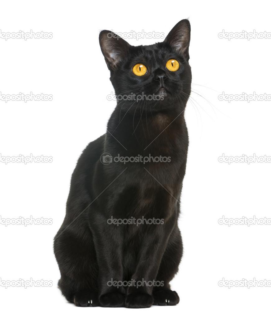 Bombay Katze Preis