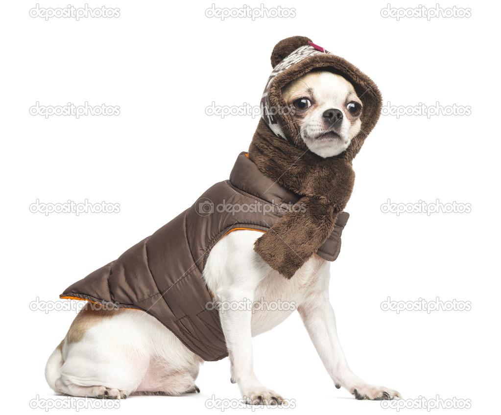 seduta di Chihuahua (2 anni) e indossava un cappotto 8bda822c12c5