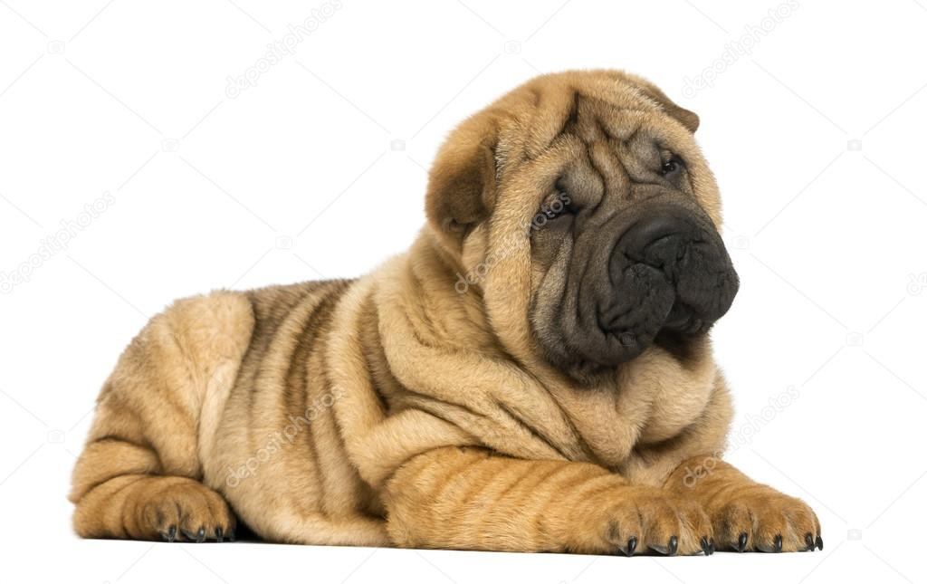 download shar pei puppies - photo #13