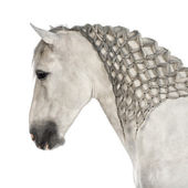 Fotografie Close-up of a Male Andalusian with plaited mane, 7 years old, also known as the Pure Spanish Horse or PRE against white background