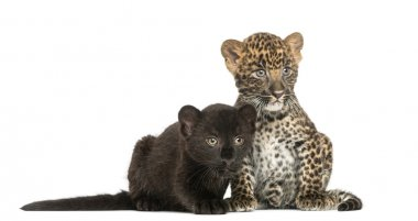 Two Black and Spotted Leopard cubs sitting and lying next to eac