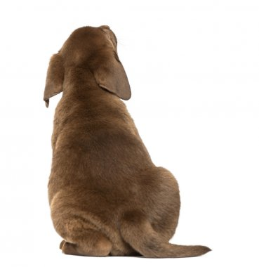 Back view of a Labrador Retriever Puppy looking up, 2 months old