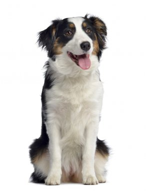 Australian Shepherd, 8 months old, sitting and panting, isolated