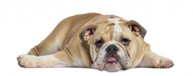 English Bulldog puppy, 5 months old, lying exhausted, isolated o