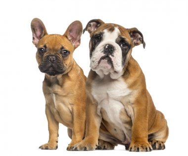 English Bulldog puppy and French Bulldog puppies, sitting next t