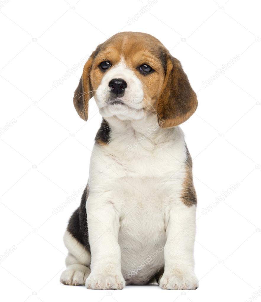 Beagle Puppy 2 Months Old Sitting Isolated On White Stock Photo C Lifeonwhite 25147857