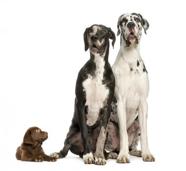Two Great Danes sitting and looking away and puppy chocolate lab