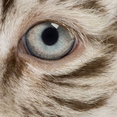 Fotografie Macro of a White tiger cub eye (2 months old)