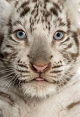Fotografie Close-up of a White tiger cub (2 months old)