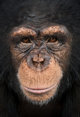 Close-up of a Chimpanzee looking at the camera, Pan troglodytes