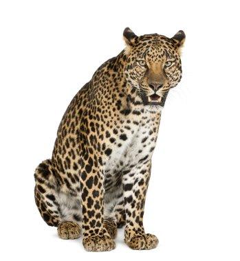 Leopard sitting, roaring, Panthera pardus